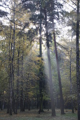 Autumn. October. Sunny morning in the pine forest. Fog and rays of light