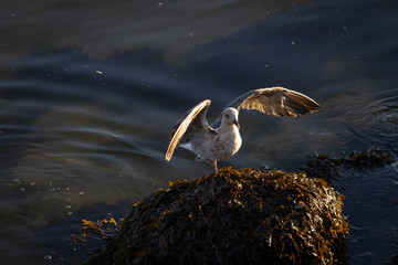 Seagull Lands on Top of Algae Pile