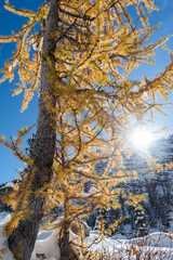 Tall yellow Larch tree backlit by sun in winter