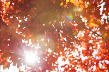 Deurstickers Kersenbloesem Red maple leaves