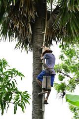 Kampong Chhnang; Kingdom of Cambodia - august 21 2018 : coconut tree