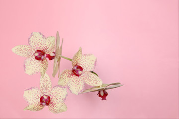 Natural flowers light green Orchid on pink background