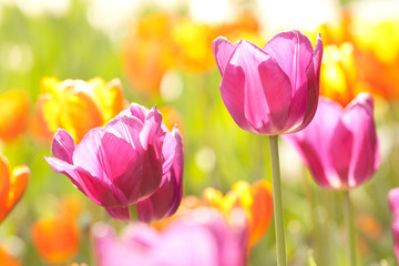 beautiful bright pink and orange tulips in spring sunny park