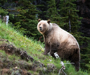 Grizzly bear in the wild