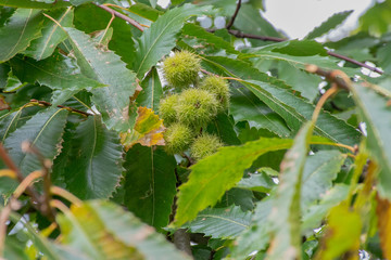Horse Chestnut husks growing on a tree