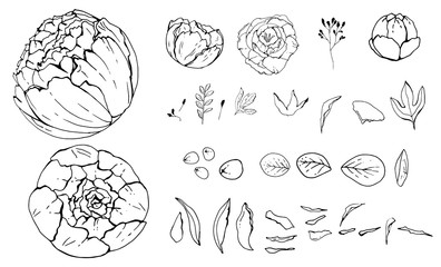 Pion flowers, Hand-drawn. objects isolated. Botanical drawings, Black and white with line art illustration.on white background, Vector illustration, sketch