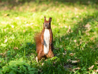Red squirrel with pointed ears and bright white chest looking cheerfully straight at camera