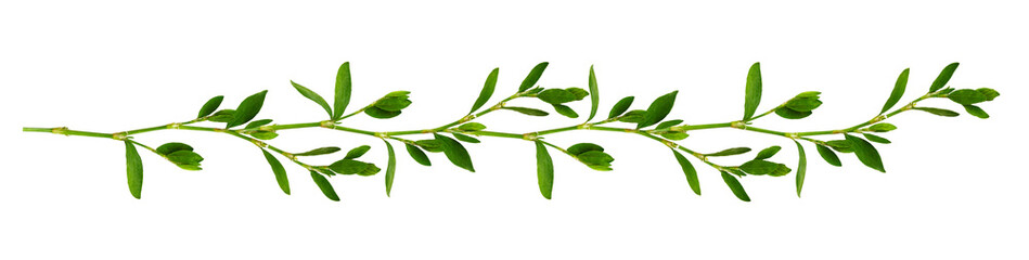 Line arrangement with fresh leaves isolated on white