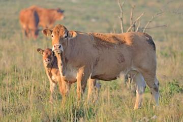 Obraz Brown Cow. - fototapety do salonu