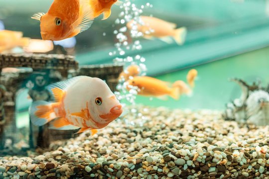 Underwater scene with the company from goldfishes in a house aquarium and vials of air on a background. The place for the text or an inscription