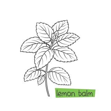 Lemon balm bunch