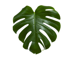 Fresh monstera leaf isolated on white background