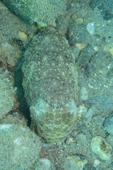 アニラオ 17 コブシメ その2