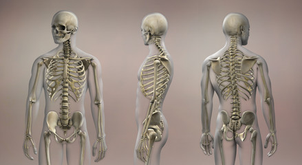 Skeletal Anatomy Male Front and Back
