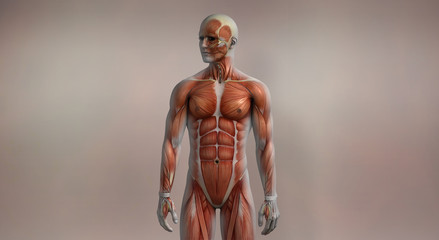 Male muscles front anatomy medical