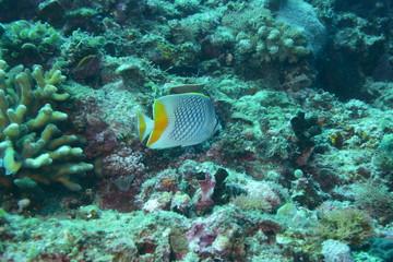 アニラオ 17 熱帯魚