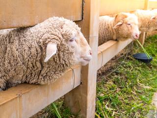 Horn sheep climb in the farm on green grass.