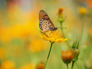 Orange butterfly or Acraea violae on yellow Mexican Aster flower. Blur the natural background in pastel colors to make you feel sweet and bright