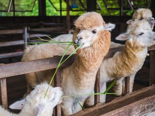 Alpaca lama close up portrait white and brown of cute friendly feeding in farm chewing glass.