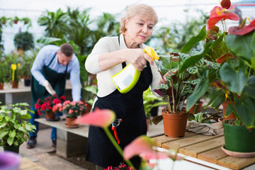 Two gardener are processing flowers with substances in greenhouse.