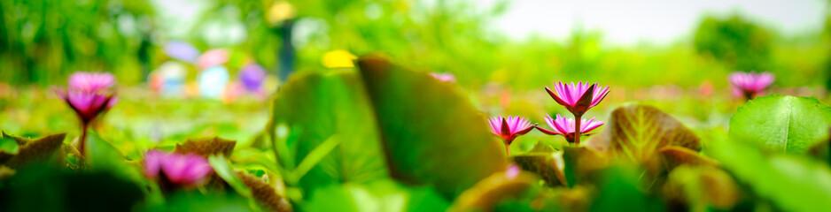 beautiful pink lotus flowers and lotus leaves on the pond footage.