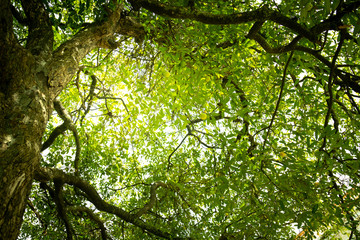 Diospyros decandra trees in forest . nature green wood sunlight backgrounds