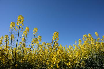 Close up of Canola Fields, Australia