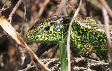 A stunning male Sand Lizard (Lacerta agilis) hiding in the undergrowth.