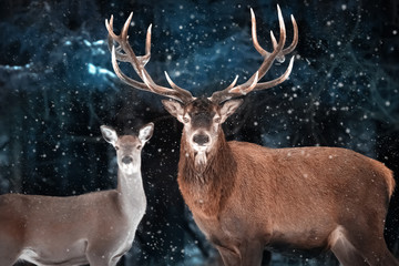 Fototapete - Couple of noble deer in a snowy forest. Natural winter image. Winter wonderland.