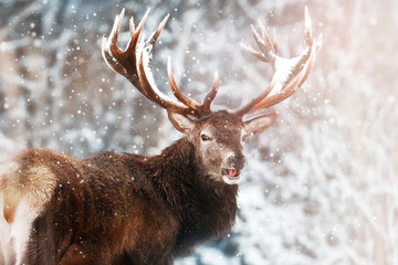 Wall Mural - Noble red deer male against the winter snow forest. Winter christmas wonderland.