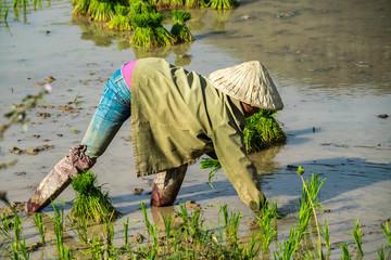 Laos - Reis Aussaat auf der Fahrt von Pakse nach Champasak