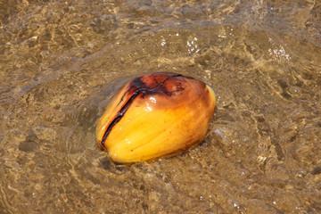 Caribbean Sea, Coconut, Roatan