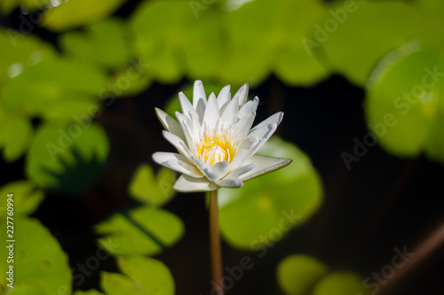 Beautiful White Lotus Flower With Green Leaf In In Pond Stock Photo