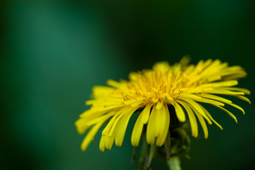Yellow flower on a green background. Close-up, blurred background. Flower. Nature.
