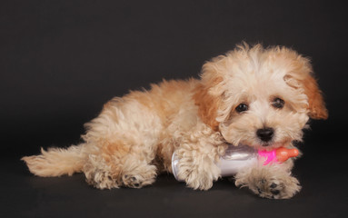 Poodle puppy cute pet with baby bottle milk on black background