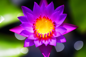 Wall Mural - beautiful water lily with bokeh background.