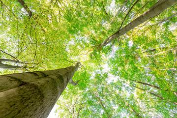 Zwei große Buchen - gigantische Baumkronen