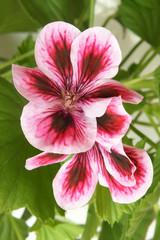 Blossoming pink geranium