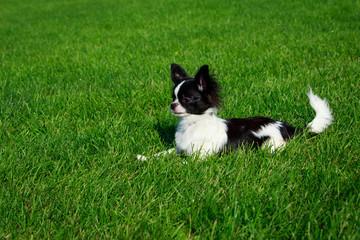 Dog breed Chihuahua