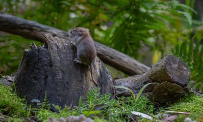 Vole Mouse autumn forest