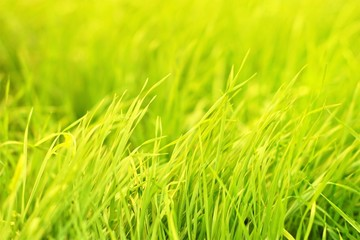 Green grass natural background texture, lawn background
