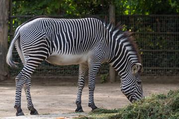 Zebra im Tierpark frisst Heu