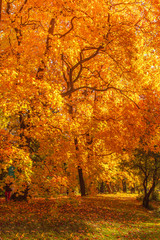 Autumn landscape Background. Autumn maple trees with Yellow and Red falling leaves  in sunlight rays