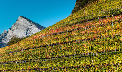 Wall Mural - panorama vineyard and mountain landscape in the Swiss Alps in autumn in rich fall colors and foliage