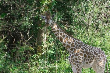 Giraffe is the highest land animal in the world.Osaka tennouji zoo,japan.