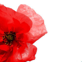 Photo sur Toile Poppy Red poppy flower isolated on white background. Ideal background for invitations, web, business cards and advertisements. Remembrance day concept.