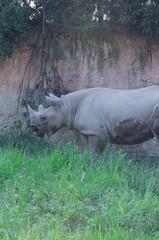 Beautiful rhino in zoological garden. Wild animal.