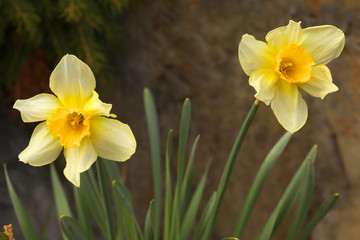 Detailed view of two blossoms of a yellow narcisus