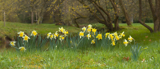 Yellow blossoms of a daffodil - narcissus in the park
