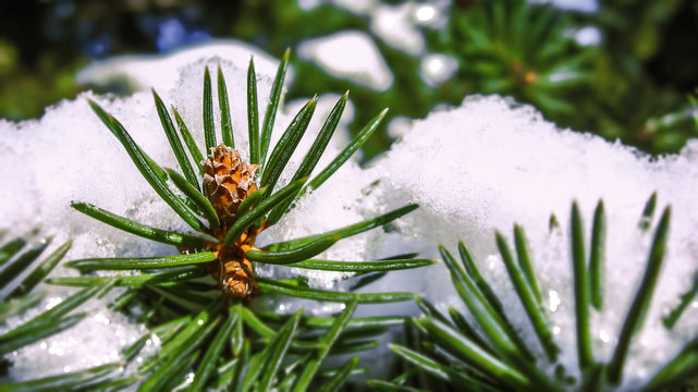 Small scotch pine сone in winter (lat. Pinus sylvestris). Snow on the branches. Close up macro